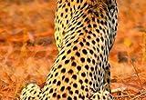 Wizard + Genius 5075-4V-1 Fototapete Leopard Safari