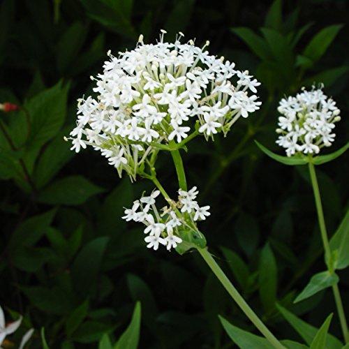 Centranthus ruber 'Albus' - Weißblühende Spornblume, im 0,5 Liter Topf, weiß blühend