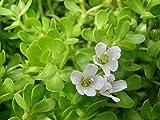 #6: Seedlings india Brahmi Herbal & Medicinal live plant