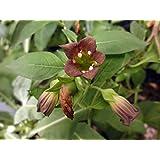 Asklepios-seeds® - 20 semillas Atropa acuminata Belladona de la India
