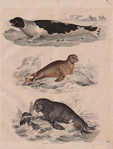 Robben Robbe Heuler animals Tiere animal Tier Original Lithographie