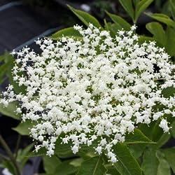 Schwarzer Holunder - Sambucus nigra - Heimische Pflanze - Fruchtgehölz