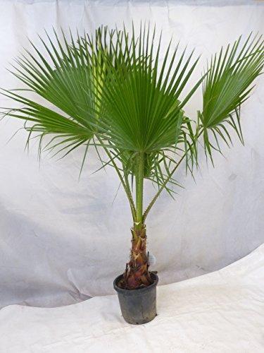 [Palmenlager] Washingtonia robusta 190/220 cm/Stamm 50 cm - Petticoat Palme