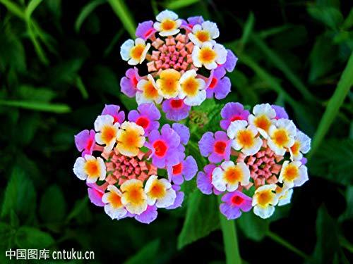 Cioler Seme di Fiore-50pcs Lantana fiori ornamentali, Rare semi di fiori hardy perenne fiore reciso bonsai colorati semi di fiori per il giardino