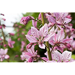 Diptam Dictamnus albus 20 Samen