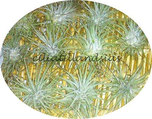 Tillandsia ionantha ionantha - planta suelta