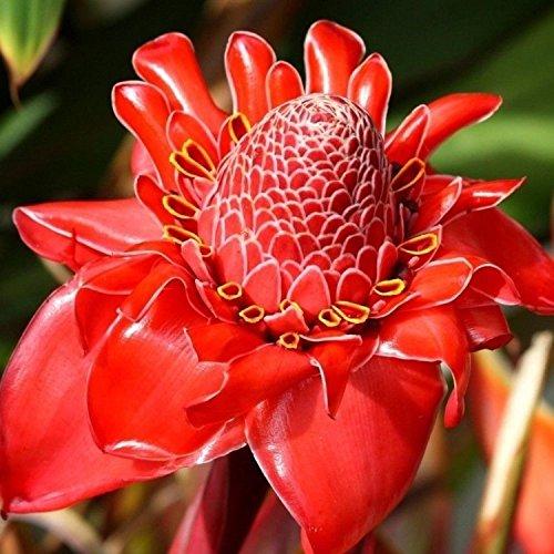 200pcs Graines de Rose rouge Torche Gingembre Etlingera Elatior Graines Parfumée Fleurs jardin Fleurs vivaces en pot