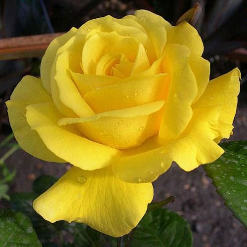 golden-50th-anniversary-special-occasion-rose-in-a-35-litre-pot