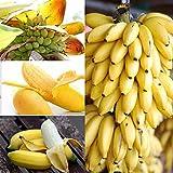 Sementi di Albero Banane Nane Banana Dwarf Semi di Frutta Fiori Rari Fiori Piante per Orto Giardino Balcone Interni ed Esterni nana Banane Tree Bananas - 100pz