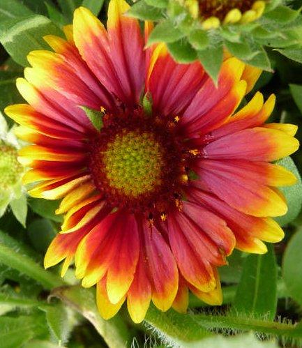 15 graines semences fleur gaillarde vivace aux 3 couleurs jaune orange et rouge attire les papillons