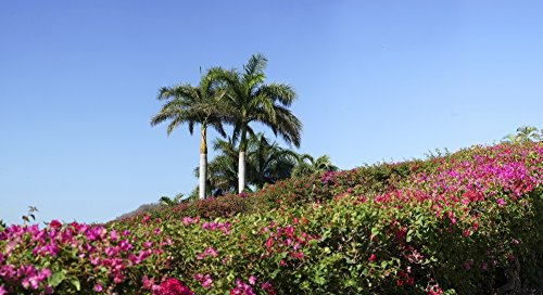 Palm Costa Rica (Panoramic Images – View of flowers in bloom with palm trees Liberia Guanacaste Costa Rica Photo Print (68,58 x 22,86 cm))