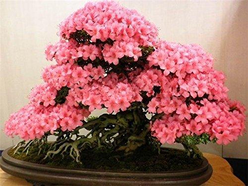 10pcs / bag giapponese sakura semi, semi di ciliegio semi bonsai semi giardino di fiori I fiori di ciliegio