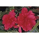 Fiore - Begonia - Illumination Rosa F1 - 10 Semi Pellettati - Tipo Pendente