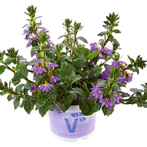 Volmary Fächerblume \'Abanico Blue\' | blaue Blüten | ideal für Blumen-Ampeln | 1 Pflanze