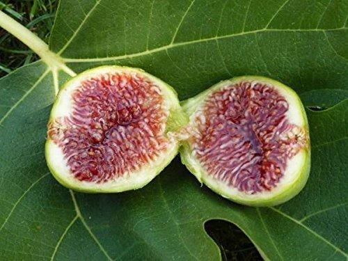 Feigenbaum 10 Samen, Echte Feige (Ficus Carica) Süße und saftige Früchte, gut für kaltes Klima
