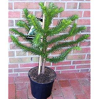Araucaria araucana, Höhe: 85-90 cm,Schmucktanne, Affenbaum, Affenschaukel, Andentanne, winterharte Pflanze ! + Dünger