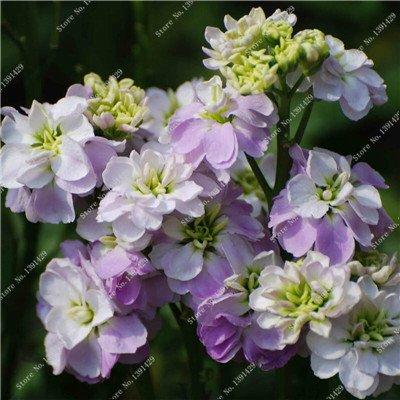Bleu Fleur de Lin Graine vivace Fleur Graine Quatre Saisons Fleur plantes ornementales tropicales en plein air Bonsai Lin Semilla 100 Pcs 7