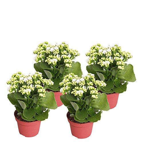 Flammendes  <strong>Botanische Bezeichnung</strong>   Kalanchoe blossfeldiana