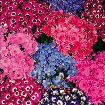 Haute Qualité 30 Senecio Cruentus crunyus Fleuristes fleurs vivaces de rocaille Plantes