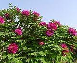 Arbre pivoine 5 graines Paeonia suffruticosa ornement Arbuste Rose Fleur CombSH M74...