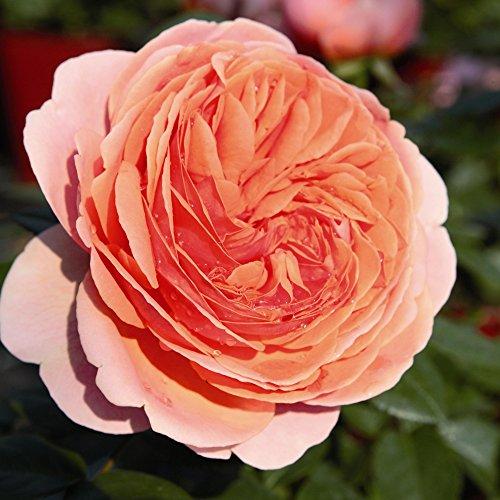 Nostalgische Strauchrose 'Chippendale®' (Rosa) - 1 Pflanze