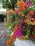 Fash Lady 50 stücke Klettern Bougainvillea Spectabilis Willd mehrjährige Pflanze Samen blumensamen Schöne Blume für Dekorative Hof 11