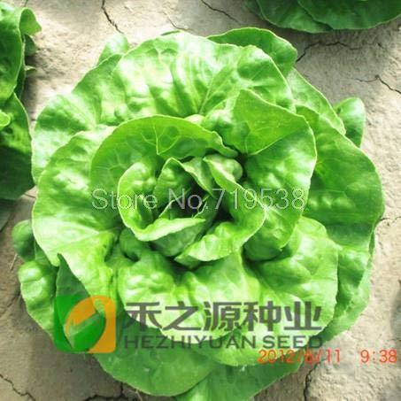 200 Stücke chinesische Buttersalat Blattsalat Samen, Salat Samen