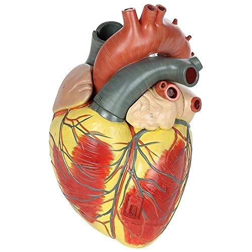 Danping 1: 1 Lebensgroßes, anatomisches Modell des Herzens Ausbildungshilfe pädagogische Lernwerkzeug (Modell Herz)