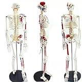 dentallabore 46Teile 4D Puzzle Menschliche Skelett Modell Medical Simulation Echthaar Anatomie