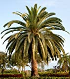 #6: Creative Farmer Palm Tree Seeds For Planting Date Palm Fruit Seeds Palm Seeds Seeds Kitchen Garden Seeds Pack