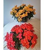 PinkdosePinkdose Blumensamen: Best Hängende Pflanze Blumensamen Geschenkkorb Garten Hecke (8 Pakete) Garten Pflanzensamen von