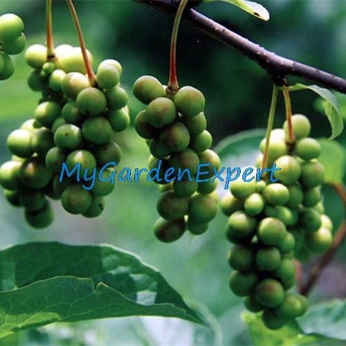 25pcs / lot Rare Chinese Herb Schisandra Chinensis Graines Nutrition Vegetable bricolage jardin Bonsai Usine