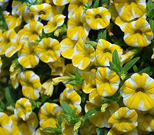 Rare Super Slices Citron Superbells Calibrachoa Pétunia Graines De Fleurs Annuelles 200 Graines/Paquet