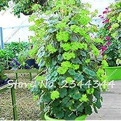 Vista Hot 120 stücke Blau Klettern Geranium Collection Pelargonium Staude Blumensamen Bonsai Topfpflanze Orquideas Raras Einfach wachsen 10
