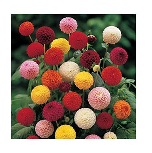 Graines de fleur double Dahlia Poponna Mélange Bio de fleurs de mélange