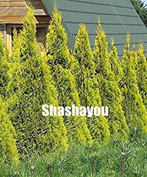 30 PC Raras Cypress árboles Bonsai conífera Cypress Planta, Plant Paisaje Siempre...