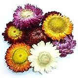 Getrocknete Strohblumen Buds, Strohblumen Gerbera Chrysanthemum gemischt Farben für Decor, Floral Basteln oder Kräutertee 5 OZ mehrfarbig