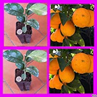 Portal Cool Volkameriana Citrus Naranja Limón Agricultura Orgánica