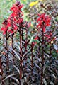 Wasserflora Rote Wasserlobelie / Lobelia fulgens Queen Victoria im 9x9 cm Topf von wasserflora auf Du und dein Garten