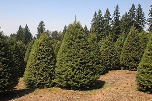 PLAT FIRM GERMINATIONSAMEN: 100 Grüne Douglasie Baum Samen, Pseudotsuga taxifolia viridis, Samen Tanne