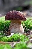 Kiefern-Steinpilz–Myzel–Pilze Forest–Grow Your Own Pilze.
