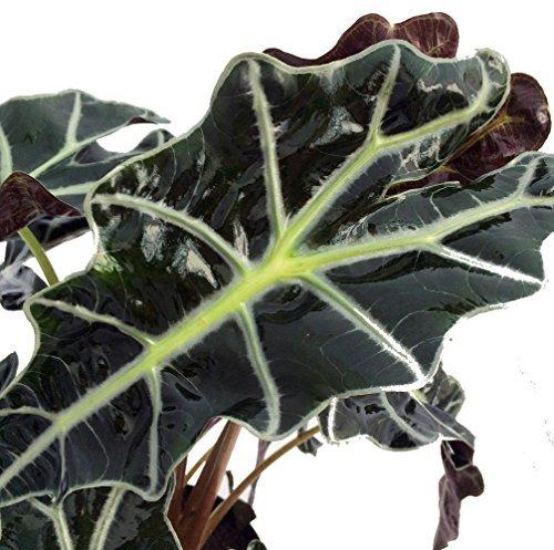 amazon-black-shield-plant-alocasia-polly-houseplant-6-pot-by-hirts-house-plant