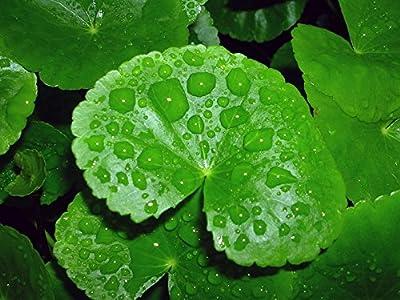 WFW wasserflora Mutterpflanze Brasilianischer Wassernabel/Hydrocotyle leucocephala