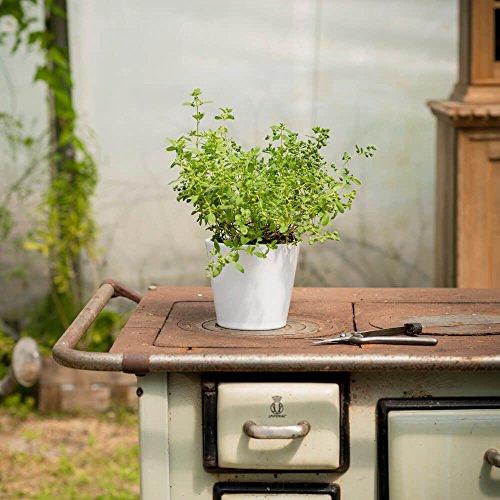 Majoran Esperanta (Origanum majorana) | Kommt im 14 cm Topf, Keine Jungpflanze | Kräftiges Aroma, vor allem für Fleischgerichte ideal