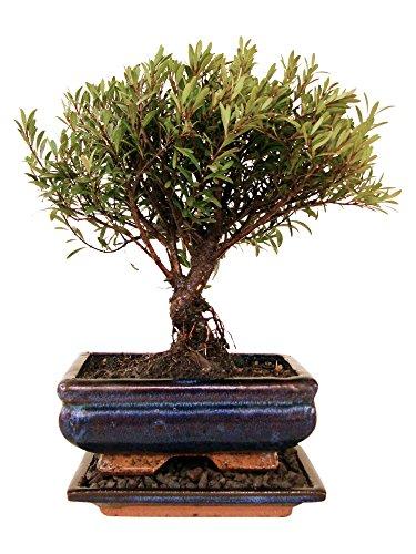 Bonsai Kirschmyrte myrte zimmertauglich anfängerbonsai zimmerbonsai immergrün ca. 7 Jahre ca. 26-28 cm hoch