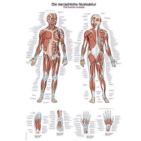 Poster Anatomie - 'Tableau d'enseignement anatomique