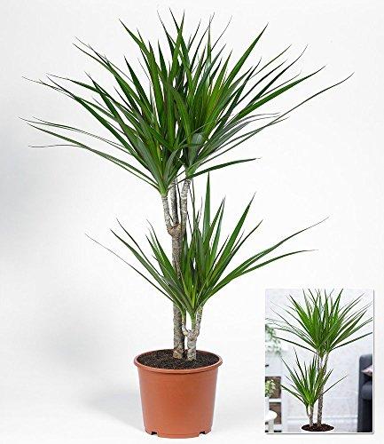 BALDUR-Garten Dracena'Marginata' ca. 70 cm hoch,1 Pflanze