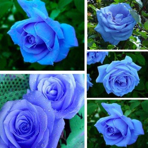 50 Pcs Blue Rose BLUELOVER Graines de fleurs bricolage jardin décembre