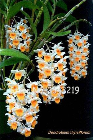 100 Pcs Dendrobium graines, semences de fleurs en pot Bonsai d'orchidées rares en herbe 95% Taux de couleurs mélangées 16