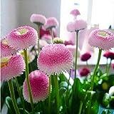 50 semillas / paquete helado de fresa semillas pequeña margarita Bonsai plantas Semillas para el hogar y el jardín